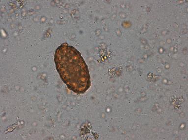 chisturi ouă chist protozoare cal