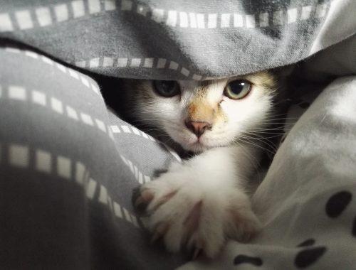 Deparazitare la pisici. Cum se face eliminarea paraziților interni și externi