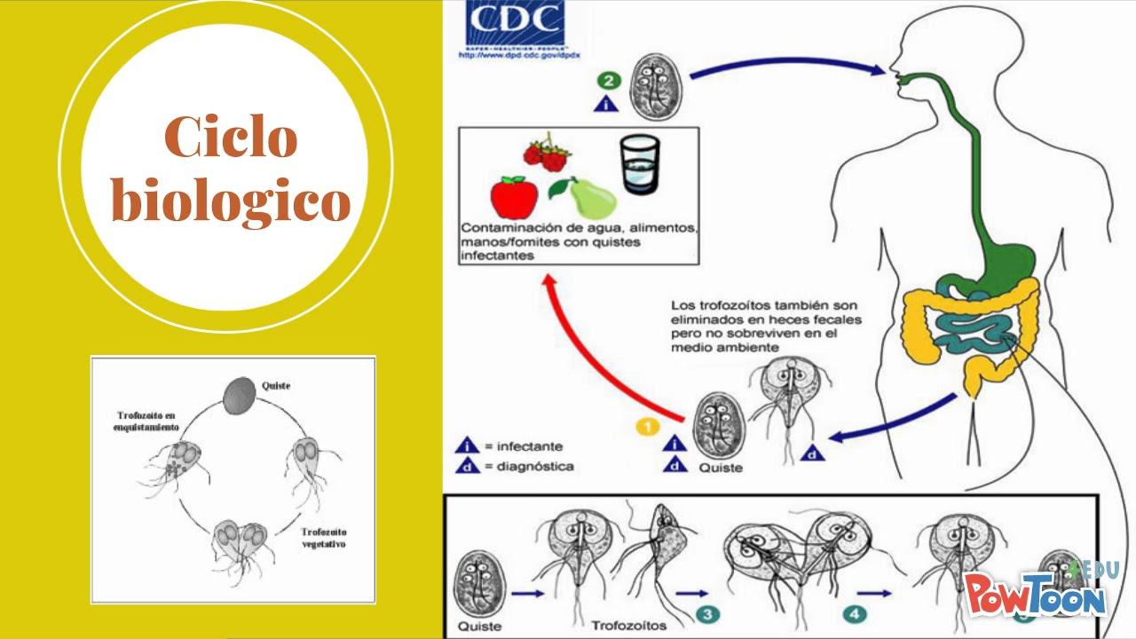 giardia duodenalis ciclo de viață retete de detoxifiere pentru slabit