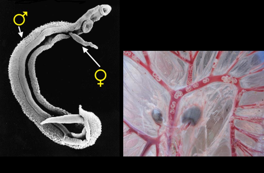 schistosomiasis worms tinctură de veruci de calendula